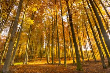 Beautiful autumn beech  forest full of colors.Pomerania ,Poland