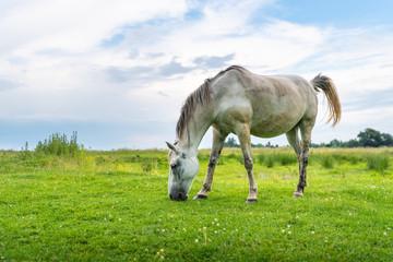 White mare on pastures, rural scene. Life in the village, Ukraine