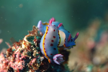 Blue Nudibranch with purple dots and yellow fringe-Hypselodoris Bennetti Mating, intersex Nudibranches having sex, reproduction