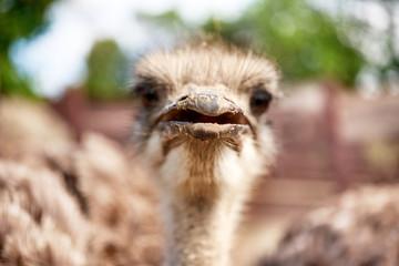 ostrich on an ostrich farm