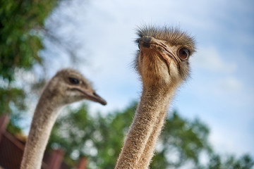 ostriches on an ostrich farm