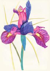 Цветок ирис, рисунок фломастерами. Floral botanical flower Íris. Drawing with felt-tip pens.