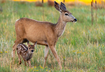 An Adorable Mule Deer Fawn and a Protective Mother