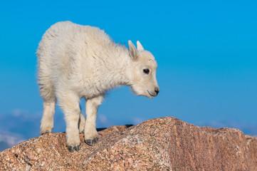 An Adorable Baby Mountain Goat Kid in the Rocky Mountains - Colorado