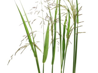 Cane grass reeds isolated on white background, clipping path