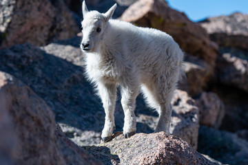 A Baby Mountain Goat Kid At Mount Evans - Colorado