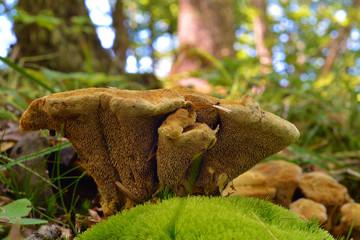 hydnellum compactum mushroom