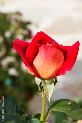 Fleur De Rose Rouge Stock Photo And Royalty Free Images On Fotolia