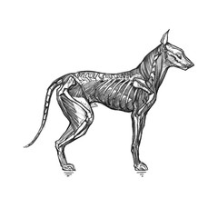 The dog skeleton and muscles. Graphic illustration with a scary dog, or hellhound. It can be used for printing on t-shirts, cards, or used as ideas for tattoos.