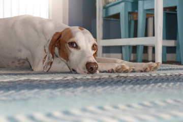 Istrian shorthaired hound relaxing on a carpet in a sunny room
