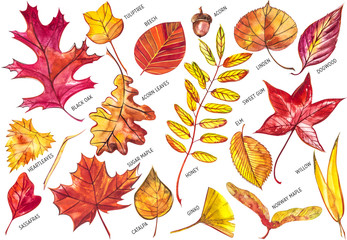 Collection beautiful colorful autumn leaves isolated on white background. Watercolor illustrations.