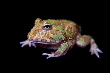 The chachoan horned frog isolated on black