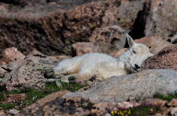 An Adorable Baby Mountain Goat Lamb