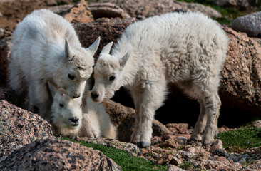 Mountain Goat Lambs Bonding in the Rocky Mountains
