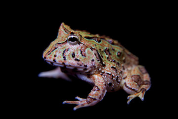 The Fantasy horned froglet isolated on black