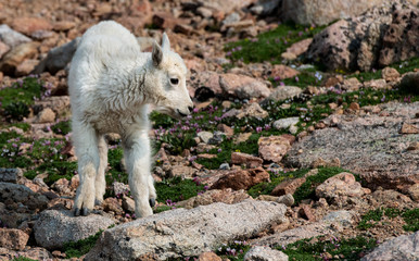 An Adorable Baby Mountain Goat Lamb on A Rocky Mountain Top