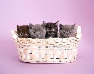 4 kleine Katzenbabies blicken aus Korb