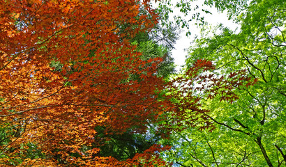 Closeup red, green leaves and tree in Japan garden