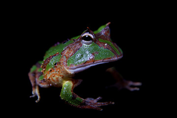 The Amazonian horned froglet isolated on black