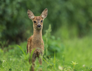 Wall Mural - deer fawn baby animal