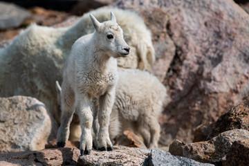 A Baby Mountain Goat Lamb Posing on a Rock-Mount Evans, Colorado