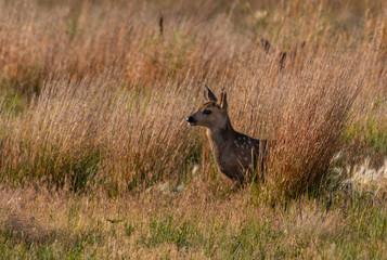 Mule Deer Fawn in a Meadow on a Summer Morning