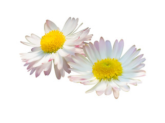 Daisy or chamomile flowers isolated on white background, vector illustration photo realistic.