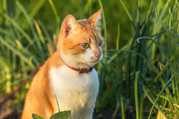 Cute white-red cat in a red collar watching for something