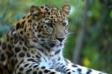 Leoparden Panthera pardus beim ausruhen