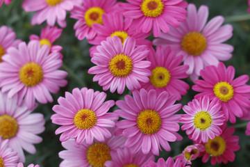Rosa Strauch-Margeriten in Blüte