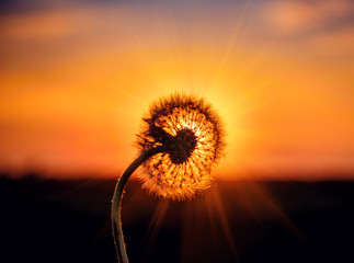fluffy dandelion with sunbeams on sunset
