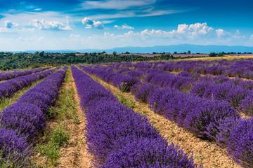 Champs de lavande sur le Plateau de Valensole en Provence