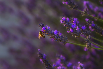 Lavender flowers close up. Natural composition