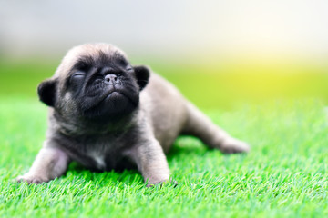 Cute baby Pug on grass, close up