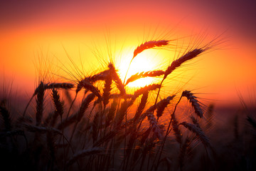 Silhouette of wheat ears against sunset