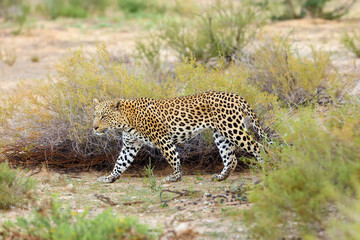 The African leopard  (Panthera pardus pardus) walks early in the morning in the desert. Young male patrolling the border of the territory.