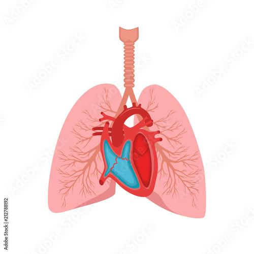500_F_212788192_cDbRUCJU9hnOJhGC8Elqq6CKMSC1XxR0 heart and lungs internal organs in a male human body anatomy of