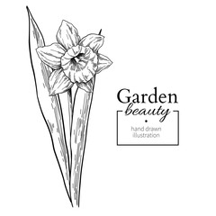 Daffodil flower and leaves drawing. Vector hand drawn engraved f