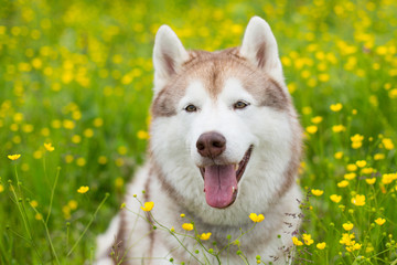 Portrait of lovely beige and white dog breed siberian husky is in the buttercup field in summer.