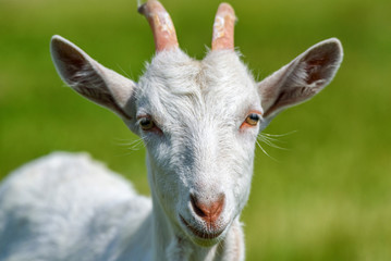 Portrait of a young goat on a chain on the field
