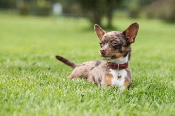 portrait of a Chihuahua dog from belgium