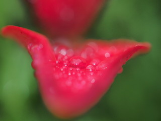 Raindrops on the red petals of a Bud of a Lily.