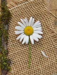Wild daisy on burlap, brown paper, moss, bark background