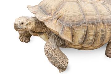 Freigestellte Schildkröte als Metapher für Langsamkeit und Zeitmanagement