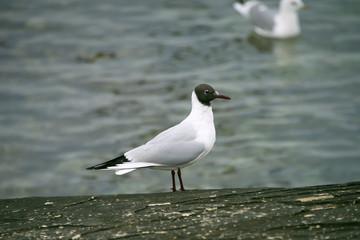 Чайка на каспии