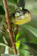 Color Yemeni chameleon - (Chamaeleo calyptratus) is a kind of big chameleon.