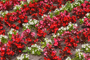 Fragment of flower beds with red and white flowers of Begonia
