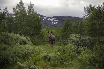 cow elk in norway