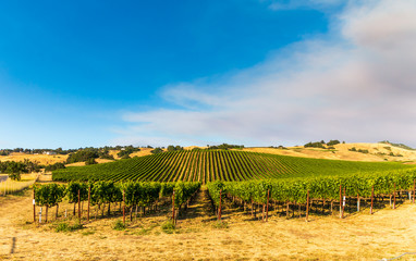 Green vinyards are on a long hillside. Brown fields are above, to the side  and front of the vineyards. A blue sky with a large cloud full of smoke is in the background. Photo is horizontal.
