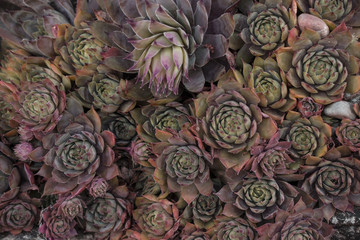 many reddish succulents